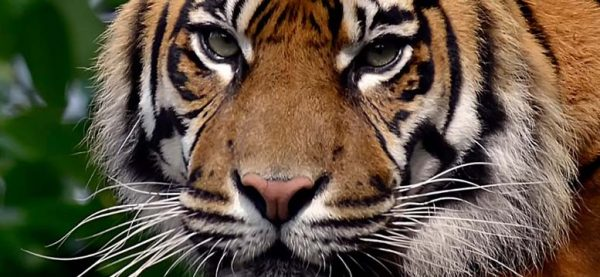 tigru zodiac chinezesc